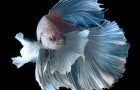 Amazing Portraits of Siamese Fighting Fish by Visarute Angkatavanich